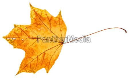 gelbes und oranges herbstblatt des ahornbaums