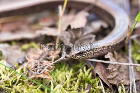 slow wurm oder blind worm anguis