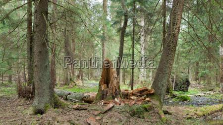 fruehling feucht stand von bialowieza wald