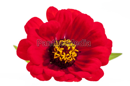single flower of red zinnia isolated