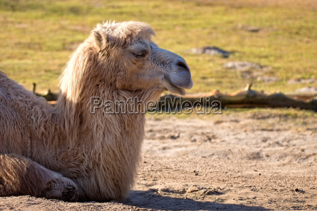 camel resting in a clearing