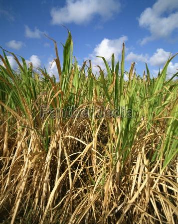 zuckerrohrbarbadoswest indieskaribikmittelamerika
