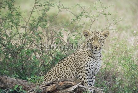 leopard panthera pardus kruger national park