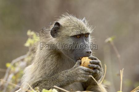 chacma baboon papio ursinus eating kruger
