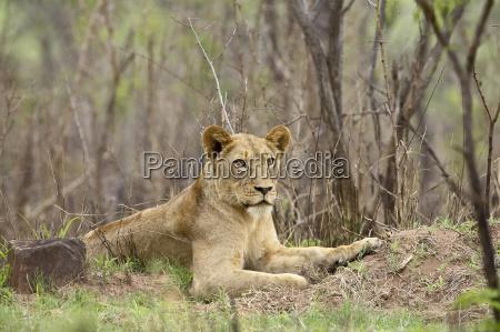 female lion panthera leo kruger national
