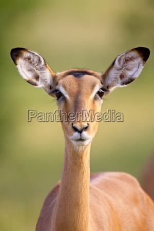 weiblicher impala aepyceros melampus kruger nationalpark