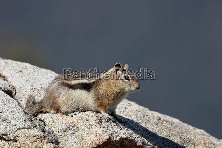 golden mantled squirrel citellus lateralis rocky