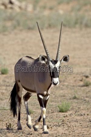 gemsbok or south african oryx oryx