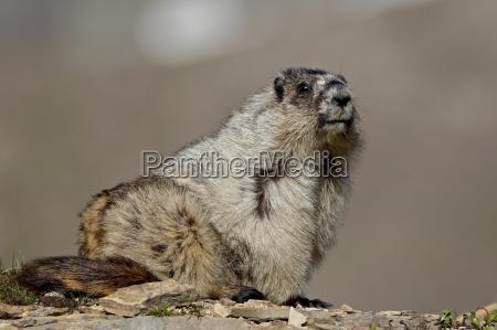 hoary marmot marmota caligata glacier national