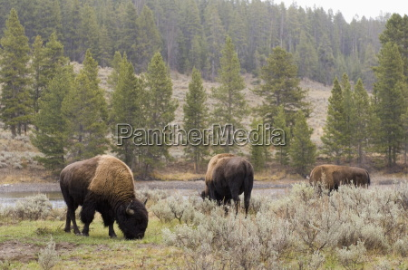 bisons yellowstone national park unesco world