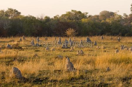 termitenhuegel kafue nationalpark sambia afrika