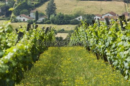 vineyards in countryside near saint jean