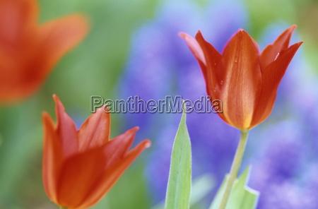 tulpe tulipa spec bielefeld nrw deutschland