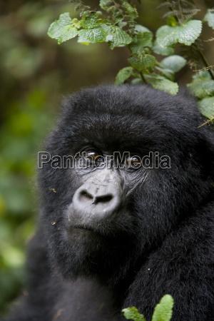 berggorilla gorilla gorilla beringei ruanda kongo