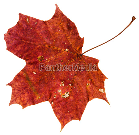 rotbraunes herbstblatt des ahornbaums lokalisiert