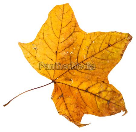 gelb getrocknetes blatt des ahornbaums isoliert