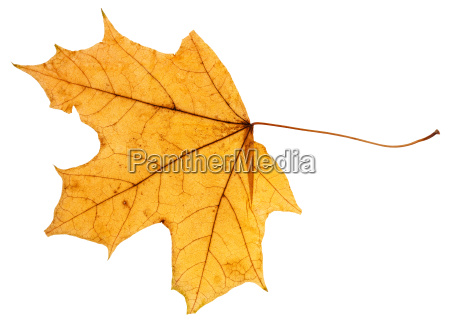 yellow autumn leaf of maple tree