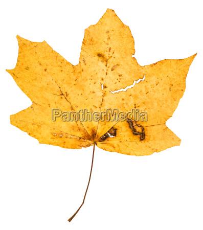 gelb gefallenes blatt des ahornbaums isoliert