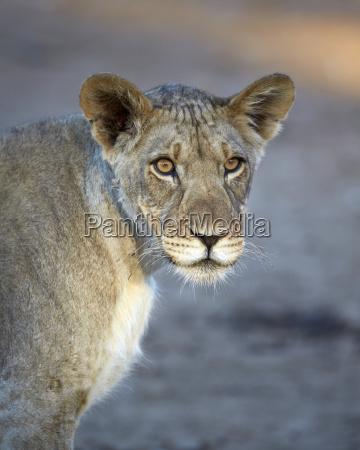 young lion panthera leo kgalagadi transfrontier