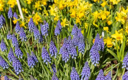 hyacinths and daffodils
