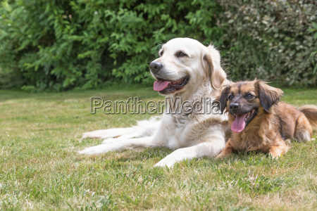 golden retriever and crossbreed dog on