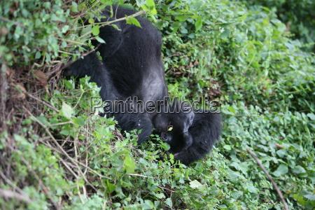 wilder gorilla tier ruanda afrika tropischen