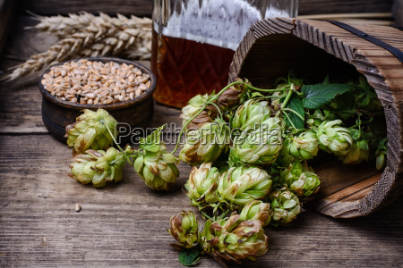 autumn hop harvest