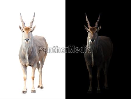 eland in dark and white background