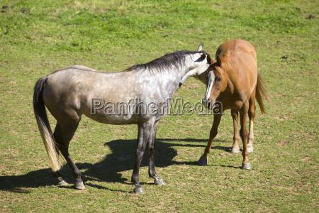 berge feld alpen pferd ross pferde
