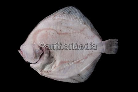 ganze rohe entbloesste plattfisch unterseite