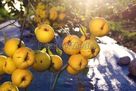 fruiting quitten strauch