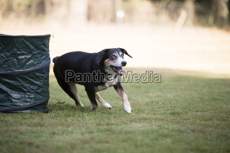 appenzeller berghund laeuft