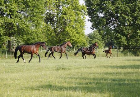holstein horses