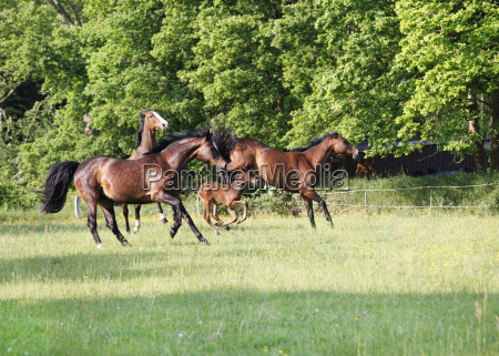 horses play on pasture