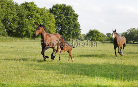 broodmare gallops with foals