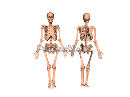 skelett freigestellt
