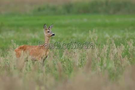 roe deer in a clearing