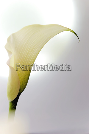 white calla zantedeschia