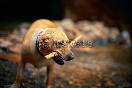 ein hund salivates mit einem stock