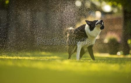 gluecklicher hund spielt unter einem sprinkler