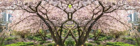 rosa baumblueten im fruehling