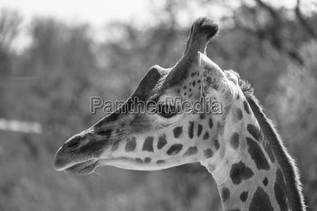 portraet einer giraffe in schwarz weiss