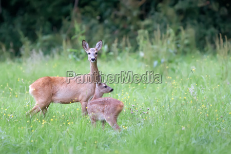 roe deer with baby in a