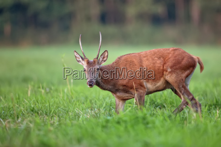 red deer in a clearing