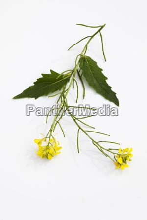 stem of field mustard on white