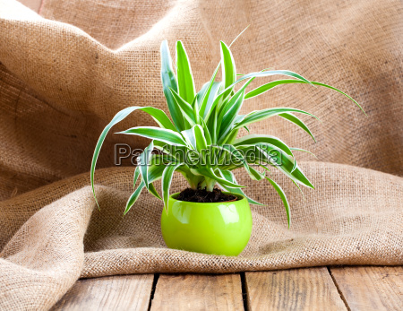 green plant chlorophytum