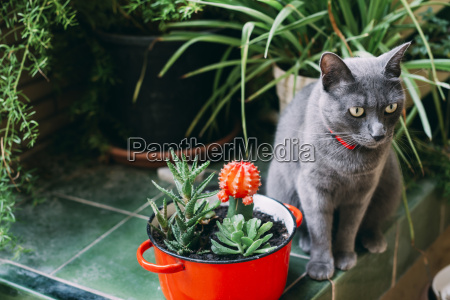 russian blue cat sitting between potted