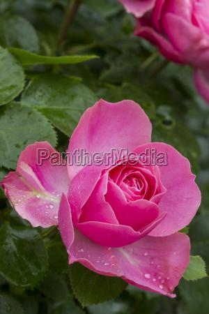rosa rosenbluete mit wassertropfen