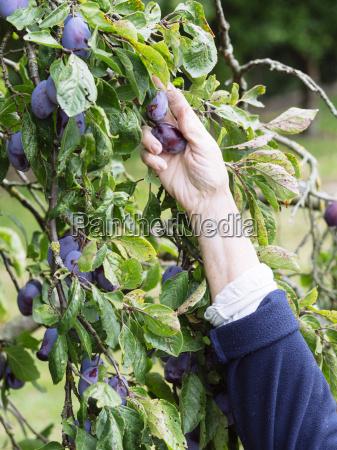 hand of senior woman harvesting plums