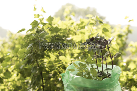 basilikum plants ready to plant